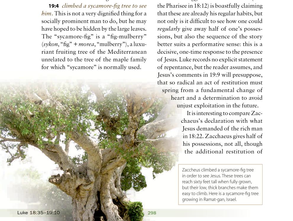Zacchaeus's Sycamore Tree